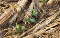 Soybeans emerging through no-till corn residue on the KBS LTER site; Photo Credit: G.P. Robertson, Michigan State University