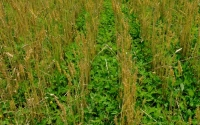 A cover crop of red clover grows between rows of organic wheat on the KBS LTER Main Cropping Systems Experiment; Photo Credit: B. Krasean, Michigan State University