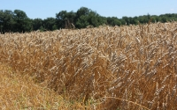 The wheat crop ready to be harvested in late July on the KBS LTER Main Cropping Systems Experiment; Photo Credit: J.E. Doll, Michigan State University