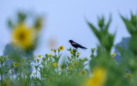 Male redwing blackbird at the LTER Main Cropping Systems Experiment (MCSE)