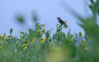Female redwing blackbird at the LTER Main Cropping Systems Experiment (MCSE)