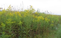 KBS LTER early successional field in September; the yellow flowers are mostly Goldenrod; Photo Credit: G.P. Robertson, Michigan State University