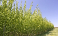 Hybrid poplar trees on the KBS LTER site in late April; Photo Credit: J.E.Doll, Michigan State University