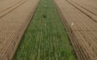 Prairie strips growing in wheat