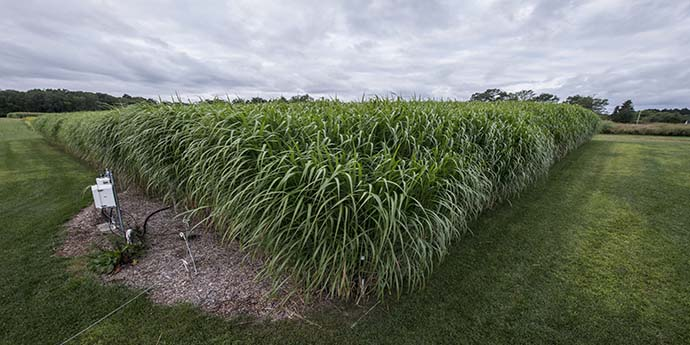 Miscanthus giganteus, one of the cellulosic biofuel crops studied at the KBS LTER/GLBRC biofuels experiment, August 2015; Photo Credit: K. Stepnitz, Michigan State University KBS LTER
