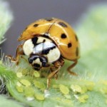 ladybird beetle eating soybean aphids