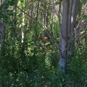 Fawn in Poplar tree plot.