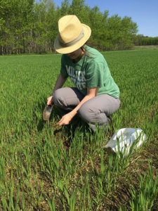 Kristi Gdanetz collecting vegetative state wheat plants for endophyte isolations.
