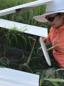 Dr. Ying Zhang, a resident scholar on sabbatical at KBS from China's Beijing Forestry University, spent the summer working with fellow researchers measuring the impact of rainfall and temperature variation on NO emissions from corn and switchgrass at the Great Lakes Bioenergy Research Center field site at KBS.