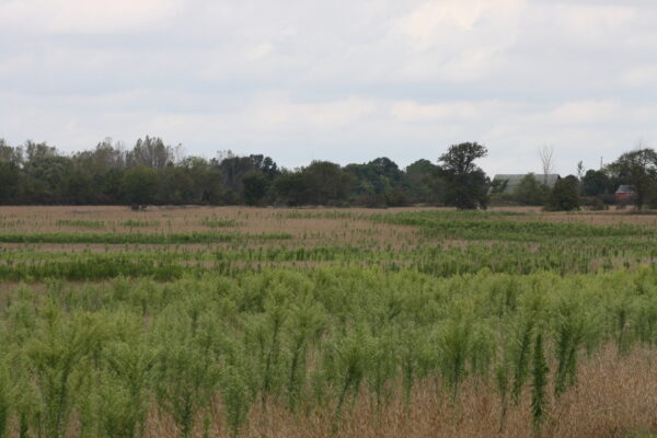 Glyphosate-resistant horseweed growing in a Michigan soybean field.